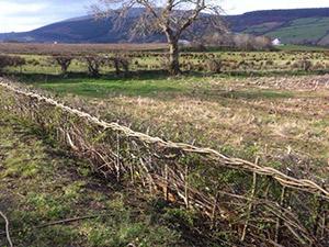 A newly laid hedge