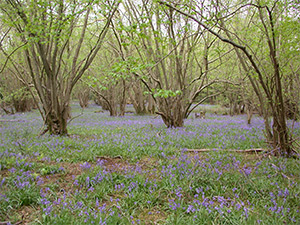 Bluebells in Foxley Wood, Norfolk