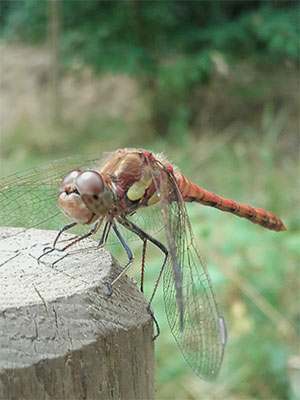 A dragonfly perched on a post