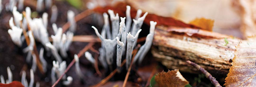 Candlesnuff fungus amongst leaf litter