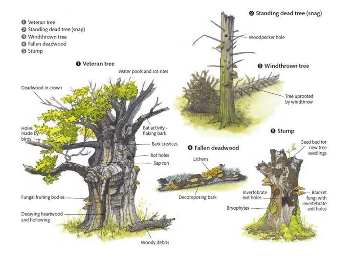 Different types of deadwood - from Forestry Scotland