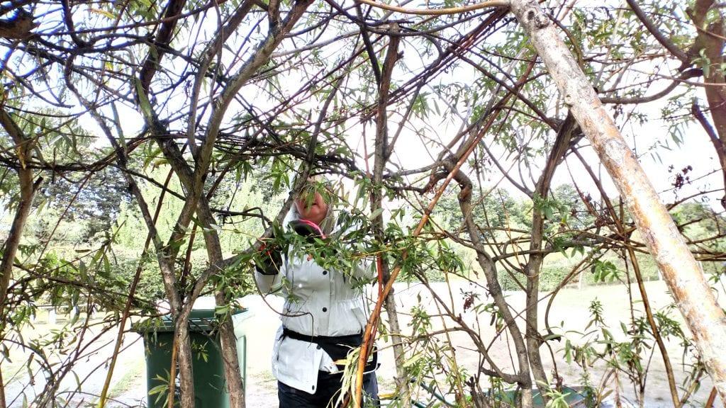 Volunteer maintaining willow tunnel